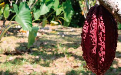 Cacaoteros caqueteños reciben certificación orgánica para exportar a Norteamérica y Europa