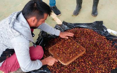 Apuesta por la producción local de café en Caquetá